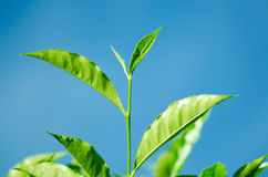 Tea Leaf with blue sky Royalty Free Stock Photos