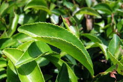 Tea leaf, cameron highlands Stock Image