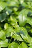 The tea leaf. The tea leaf at tea farm north of thailand Stock Image