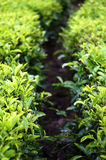 Tea leaf farm. Walk way close up Stock Images