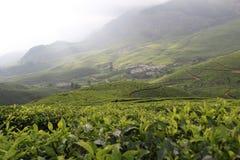 Tea leaf farming Royalty Free Stock Photography