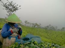 A tea leaf harvest worker. A 40-year-old mother is harvesting tea plantation land with enthusiasm location Central, Java, Indonesia stock images