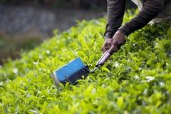 Tea Leaf Harvesting Stock Image
