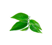 Tea leaf Royalty Free Stock Image