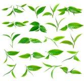 Tea leaf stock photo