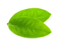 Tea leaf stock photos