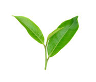 Tea leaf isolated on white background. Fresh tea leaf isolated on white background stock images