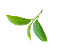 Tea leaf isolated on white background. Green tea leaf isolated on white background royalty free stock image