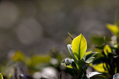 Tea Leaf with light green in the Background Royalty Free Stock Photography