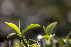 Tea Leaf with light green in the Background Stock Photos
