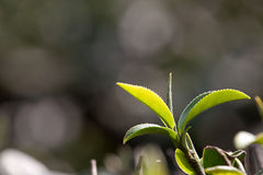 Tea Leaf with light green in the Background Stock Images