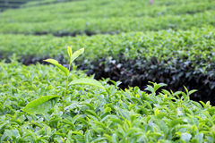 Tea Leaf with morning Stock Image