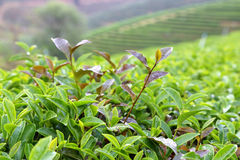 Tea Leaf with morning Royalty Free Stock Photos
