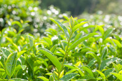 Tea Leaf Royalty Free Stock Photography