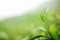 Tea Leaf with Plantation Royalty Free Stock Photos