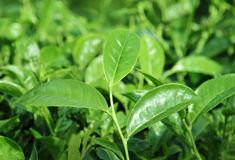 Tea Leaf with Plantation in the Background Stock Image