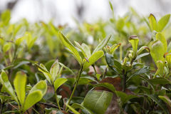 Tea leaf in a rain day Royalty Free Stock Image