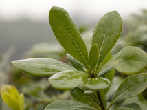 Tea leaf in a rain day Stock Images