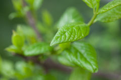 Tea leaf in a rain day Royalty Free Stock Photography