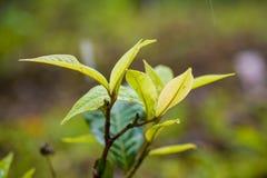 Tea leaf with the sunshine Stock Image