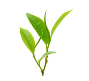 Tea leaf  on white background Royalty Free Stock Photography