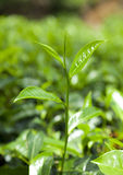 Tea Leaf Stock Photo
