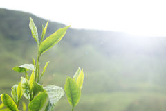 Tea leafs. Tea leaves against early morning sun in plantation Royalty Free Stock Image