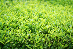 Tea leafs farm. Close up background Royalty Free Stock Image