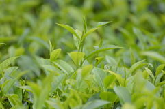Tea Leafy. Tea leaf of Tea plantation in Sri Lanka Royalty Free Stock Photos
