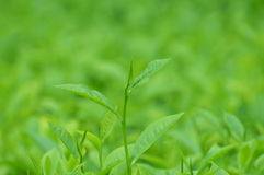 Tea Leafy Royalty Free Stock Images