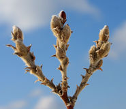 Woolly Willow buds with blue sky. Woolly Willow(salix lanata) buds for catkins in late winter form with clouds and blue sky stock images