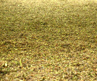 Tea leaves. Darjeeling tea leaves drying in a tea factory Royalty Free Stock Photos