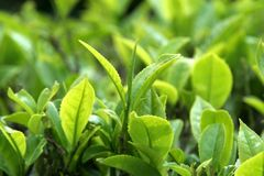 Tea Leaves. Close-up view of green, tender leaves of tea crop Stock Photo