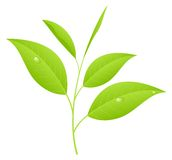 Tea leaves. Sprout with young saplings. Vector illustration, isolated on a white stock illustration