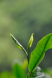 Tea Leaves. The new green tea (Longjing) leaves ready to be picked Royalty Free Stock Photo