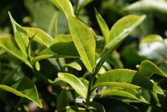 Tea leaves Royalty Free Stock Image