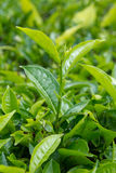Tea leaves. With plantation in the background Stock Photography