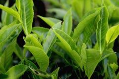 Tea leaves Royalty Free Stock Photos