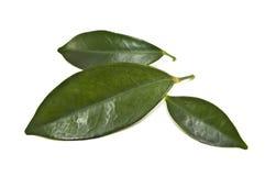 Tea leaves. Green tea leaves on white Royalty Free Stock Photo