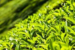 Tea leaves Stock Photos