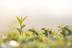 Free Tea Leaves Stock Photos - 38151183