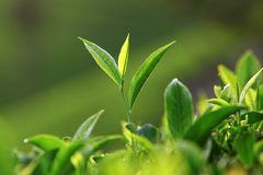 Tea leaves Royalty Free Stock Images
