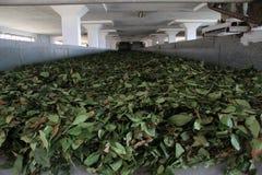 Tea leaves on conveyor belt. In a tea factory in Cayeli, northern Turkey Stock Image