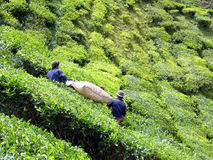Tea leaves cutting. Workers cutting tea leaves at the plantation Stock Photos