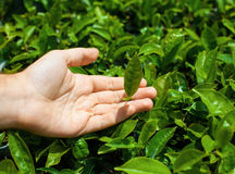 Tea leaves in hand Stock Photography