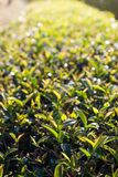 Tea leaves in morning sunlight Royalty Free Stock Photo