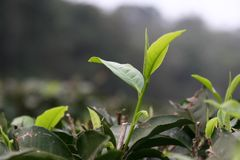 Tea leaves opening on a tea farm. Young tea leaves from tea buds open in spring on a tea farm in Taiwan, in the Sun Moon Lake district, famous for their Ruby  18 Stock Photos