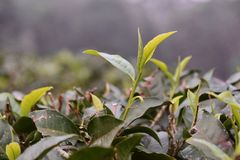 Tea leaves opening on a tea farm. Young tea leaves from tea buds open in spring on a tea farm in Taiwan, in the Sun Moon Lake district, famous for their Ruby  18 Stock Photography