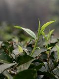 Tea leaves opening on a tea farm. Young tea leaves from tea buds open in spring on a tea farm in Taiwan, in the Sun Moon Lake district, famous for their Ruby  18 Stock Photo