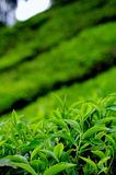 Tea leaves at a plantation. In Cameron Highlands, Malaysia royalty free stock images